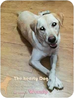 Labrador Retriever Dog for adoption in San Diego, California - WENDY