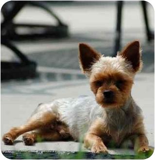 Yorkie, Yorkshire Terrier Dog for adoption in Charlotte, North Carolina - Tucker