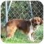 Photo 1 - Sheltie, Shetland Sheepdog/Border Collie Mix Dog for adoption in North Wilkesboro, North Carolina - Scooby