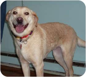 Labrador Retriever Mix Dog for adoption in Port Jefferson Station, New York - Honey