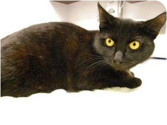 Domestic Shorthair Cat for adoption in Gainesville, Florida - Matilda