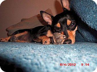 Miniature Pinscher/Chihuahua Mix Dog for adoption in Long Beach, New York - Zukie