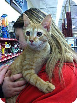 Domestic Shorthair Kitten for adoption in Riverhead, New York - Salsa