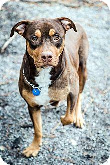 Labrador Retriever Mix Dog for adoption in Tinton Falls, New Jersey - Dolly