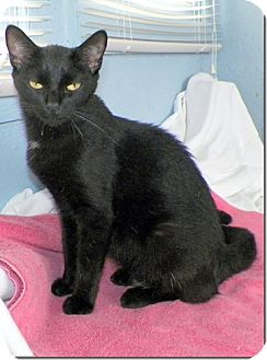 Domestic Shorthair Cat for adoption in Sullivan, Missouri - Augusta