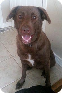 Chesapeake Bay Retriever Dog for adoption in Treton, Ontario - Chubs