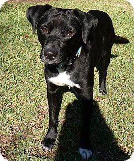 Labrador Retriever Mix Dog for adoption in Humble, Texas - Grady