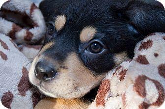 Labrador Retriever/Golden Retriever Mix Puppy for adoption in Charlestown, Rhode Island - Lotus
