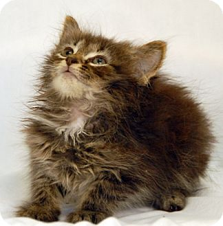 Domestic Mediumhair Kitten for adoption in Newland, North Carolina - Ruthanne
