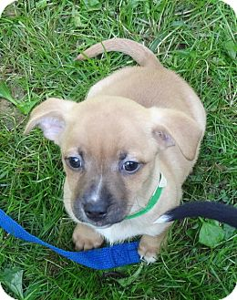 Chihuahua/Terrier (Unknown Type, Medium) Mix Puppy for adoption in Middletown, New York - Ozark