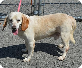 Beagle Mix Dog for adoption in Morgantown, West Virginia - Luther