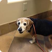 Adopt A Pet :: Rosie P - Phoenix, AZ