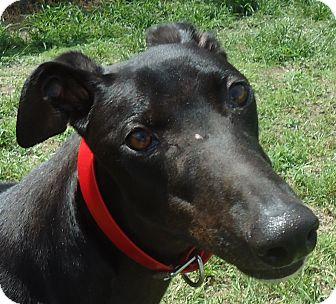 Greyhound Dog for adoption in Longwood, Florida - Bergy