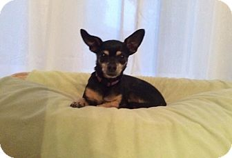 Chihuahua Mix Dog for adoption in Edmonton, Alberta - Bella