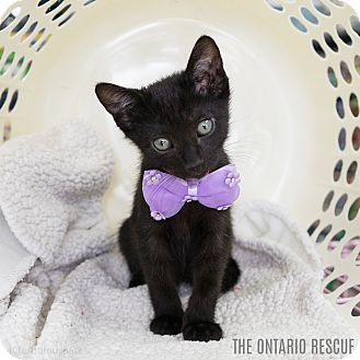 Domestic Shorthair Kitten for adoption in Montclair, California - Ebony