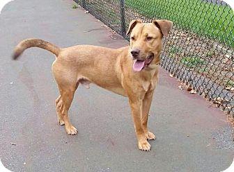 Labrador Retriever Mix Dog for adoption in Seahurst, Washington - Ollie