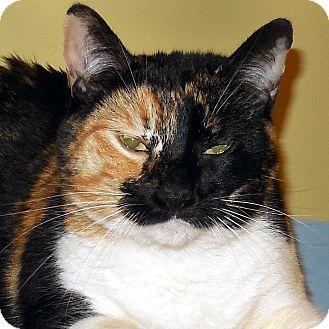 Calico Cat for adoption in Hayden, Idaho - Tabby Tapioca