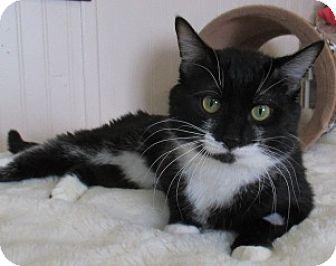 Domestic Shorthair Cat for adoption in Lloydminster, Alberta - Captin