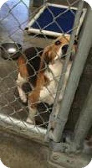 Beagle Mix Dog for adoption in Alpharetta, Georgia - Tivo