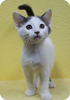 Domestic Shorthair Kitten for adoption in Benbrook, Texas - Nitro