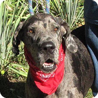 Great Dane Dog for adoption in Oakland, Arkansas - Pebbles