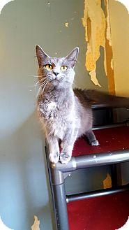 Domestic Longhair Cat for adoption in Fairmont, West Virginia - Rollo