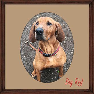 Redbone Coonhound Dog for adoption in Walden, New York - Big Red