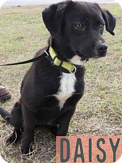 Rat Terrier/Labrador Retriever Mix Puppy for adoption in Tampa, Florida - Daisy
