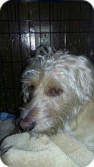 Lhasa Apso/Wheaten Terrier Mix Dog for adoption in Fullerton, California - Scout