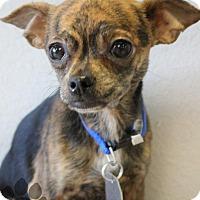 Adopt A Pet :: Timpani - Yukon, OK