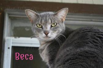 Domestic Mediumhair/Domestic Shorthair Mix Cat for adoption in Converse, Texas - BECA