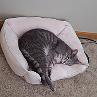 American Shorthair Cat for adoption in Troy, Ohio - Thomas