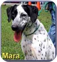 Pointer Mix Dog for adoption in Aldie, Virginia - Mara