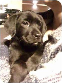 Labrador Retriever Mix Puppy for adoption in Cumming, Georgia - Aspen