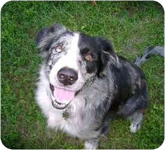 Australian Shepherd Dog for adoption in Orlando, Florida - Moose