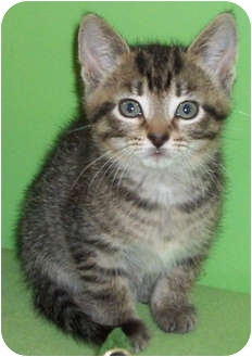 Domestic Shorthair Kitten for adoption in Struthers, Ohio - Gail