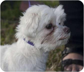 Maltese Dog for adoption in Houston, Texas - Sable