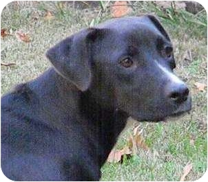 Labrador Retriever Mix Dog for adoption in Louisburg, North Carolina - Heidi