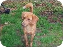 Hound (Unknown Type)/Dachshund Mix Puppy for adoption in Louisburg, North Carolina - Skipper