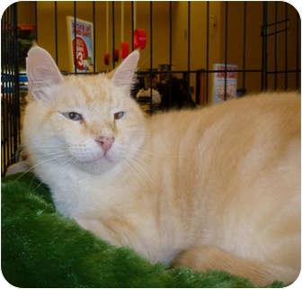Siamese Cat for adoption in Tampa, Florida - Tyson