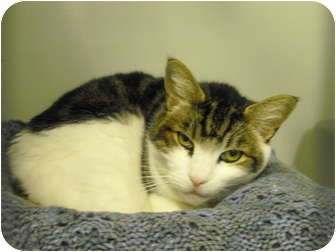 Domestic Shorthair Cat for adoption in Mission, British Columbia - Cyd