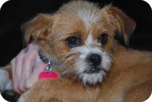 Brussels Griffon/Cairn Terrier Mix Dog for adoption in New Milford, Connecticut - Robin