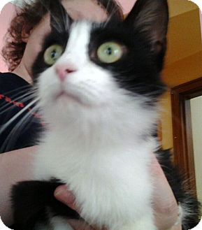 Domestic Shorthair Cat for adoption in Troy, Michigan - Louisa Mae