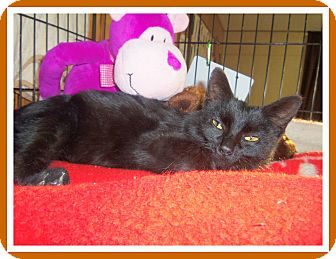 Domestic Shorthair Cat for adoption in Medford, Wisconsin - EBONY