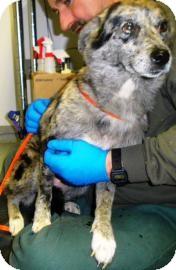 Australian Shepherd Dog for adoption in Lincolnton, North Carolina - Cassie