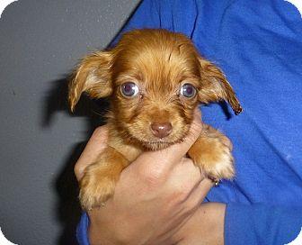Dachshund/Schnauzer (Miniature) Mix Puppy for adoption in Oviedo, Florida - Jackie