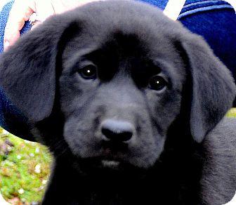 Labrador Retriever Puppy for adoption in Wakefield, Rhode Island - BEAUTY(GORGEOUS LAB PUPPY!!