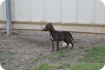 Dachshund Mix Puppy for adoption in Albany, Georgia - Cici