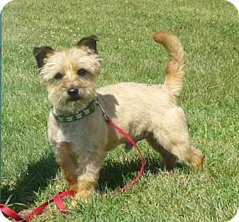 Cairn Terrier Dog for adoption in Austin, Minnesota - Cosmo