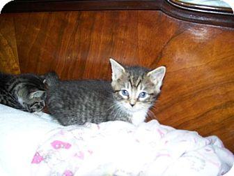 Domestic Shorthair Kitten for adoption in Randolph, New Jersey - Teemo